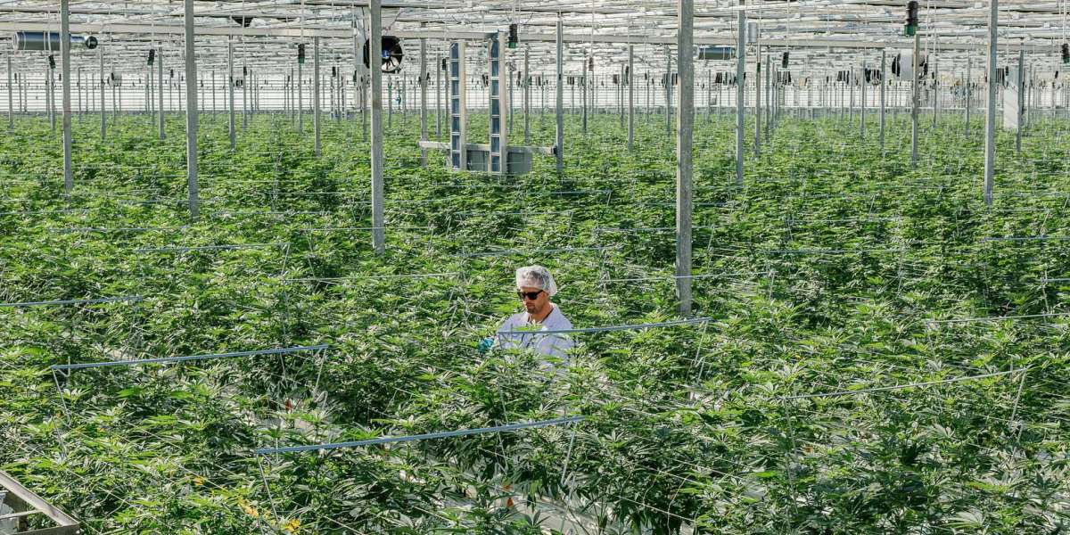 After 'Green Rush,' Canada's Legal Pot Suppliers Are Stumbling