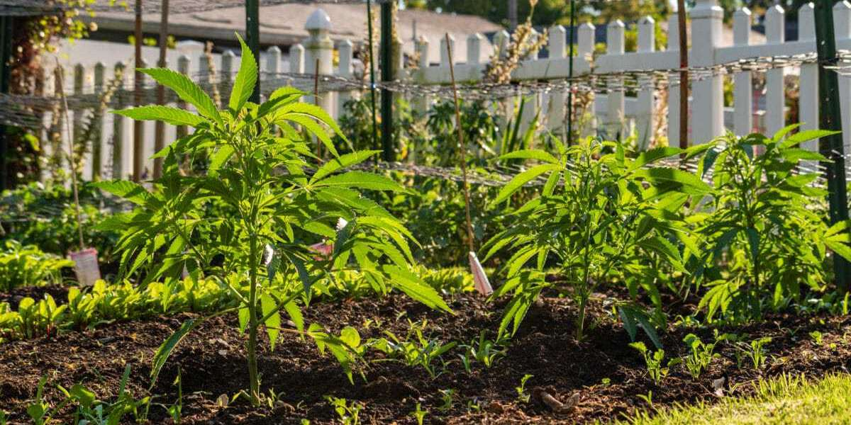 What Is The Best Time To Grow Your Cannabis In Your Yard