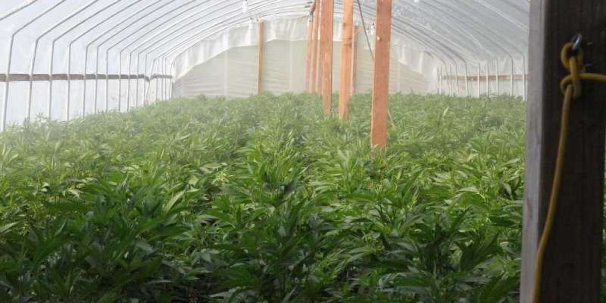 17,000 Illegal Cannabis Plants Wiped Out In Island Mountain Raid