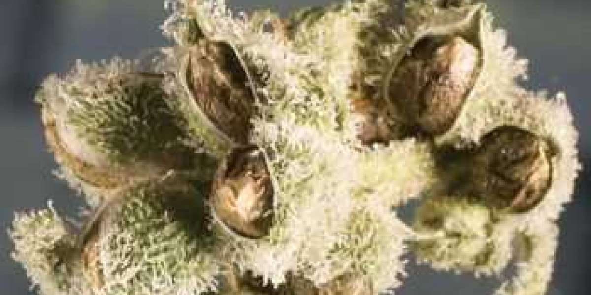 Everything You Need To Know About Feminized Seeds For Cannabis Growers